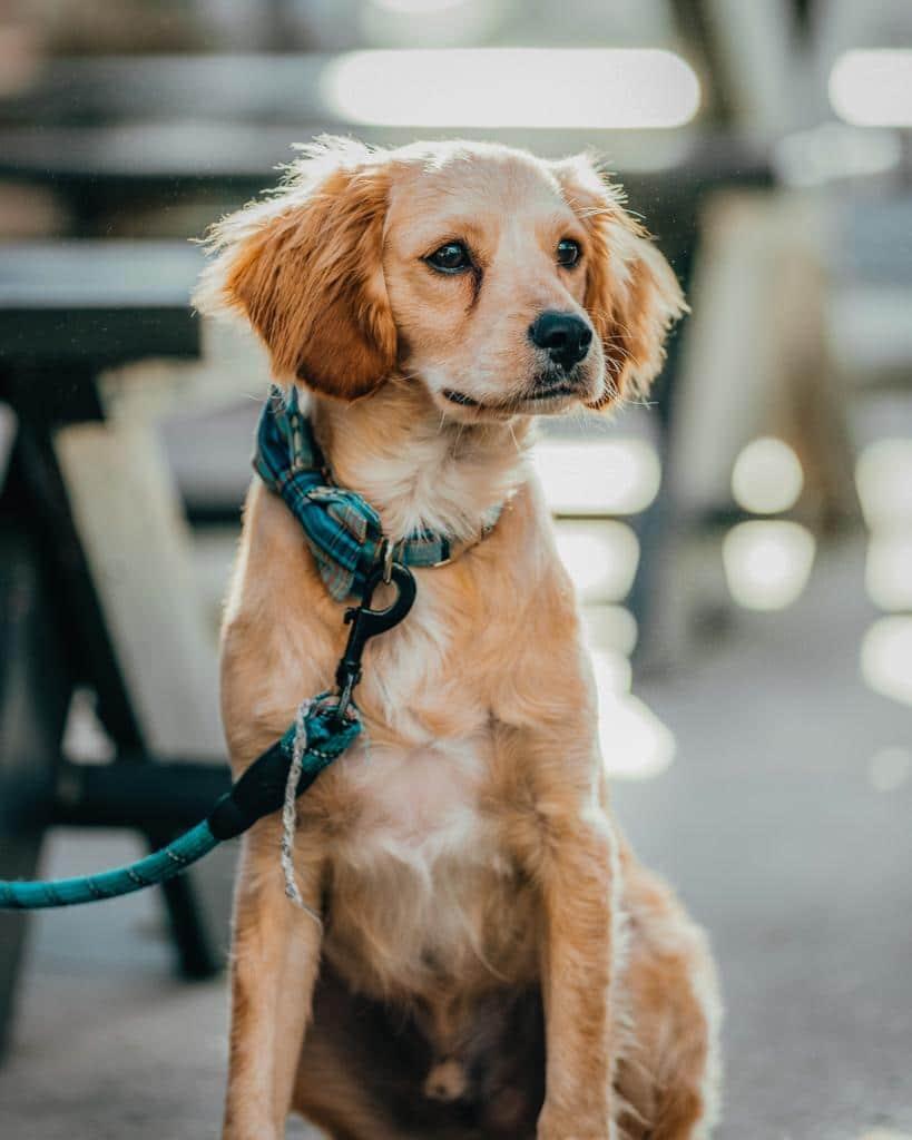 Golden Retriever Hundetraining